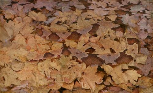 Copperhead Snake on Dead Leaves.jpg